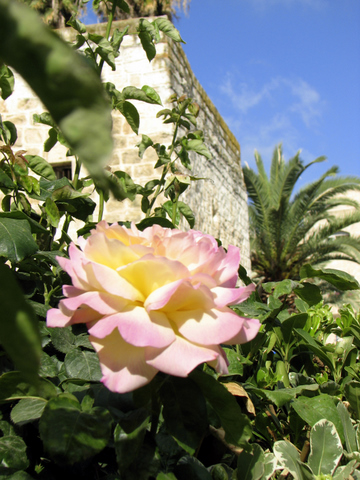 Rose with palm in background