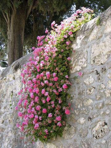 Pink Flowers, Ein Karem