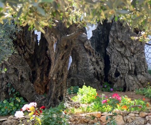 Flowers against Olive Trees, Gethsamani, Jerusalem