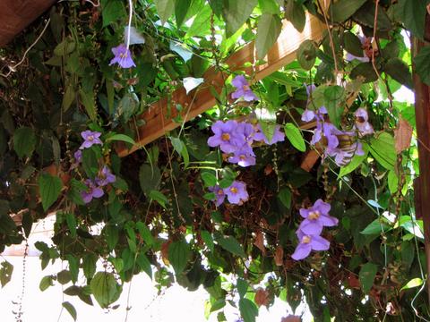 Purple flower vine in Golan Heights
