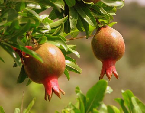 Pomegranates, Neot Kedumim