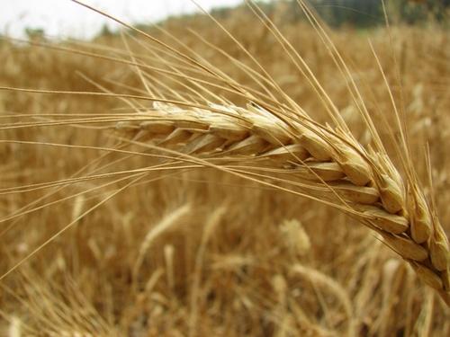 Wheat, Neot Kedumim